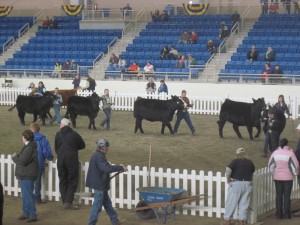 Cattle contest.  Later in the week, they have tractor races in this areana.